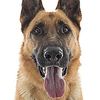 German Shepherd Dog Dog for adoption in Downey, California - Zeus