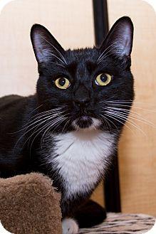 Domestic Shorthair Cat for adoption in Irvine, California - Ricky