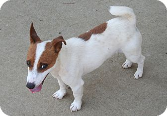 Jack Russell Terrier Dog for adoption in Westfield, Indiana - Riley