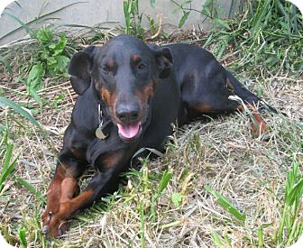 Doberman Pinscher Dog for adoption in New Richmond, Ohio - Peggy--pending