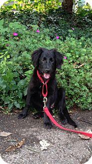 Golden Retriever/Australian Shepherd Mix Puppy for adoption in Elgin, Illinois - BRANDY ICE