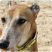 Adopt A Pet :: Bingo - St Petersburg, FL