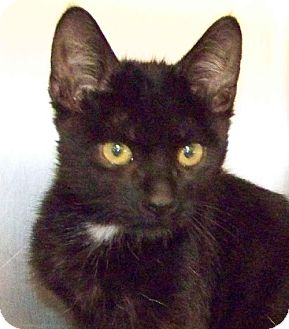 Domestic Shorthair Cat for adoption in Westville, Indiana - Onyx