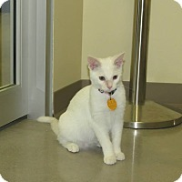 Adopt A Pet :: LillyBear - Edmond, OK