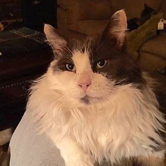 Domestic Longhair Cat for adoption in New City, New York - Nigel