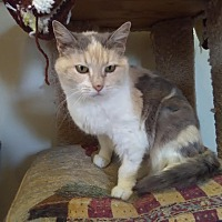 Calico Cat for adoption in Owenboro, Kentucky - ADELE