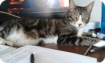 Domestic Shorthair Cat for adoption in Ellicott City, Maryland - .Asha