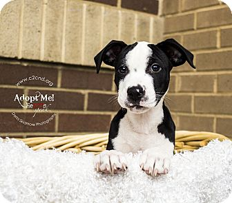 Pit Bull Terrier/Hound (Unknown Type) Mix Puppy for adoption in Charlotte, North Carolina - Shellder (Pokemon Litter)