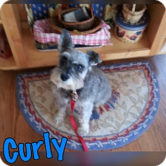Schnauzer (Miniature) Mix Dog for adoption in Millersville, Maryland - Curly