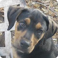 Adopt A Pet :: Matthew ~ Puppy - St Petersburg, FL