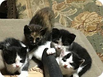Domestic Shorthair Kitten for adoption in Houston, Texas - SMITH LITTER