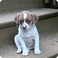 Adopt A Pet :: Violet's Spring Bloom Pups: Peony - Washington, DC