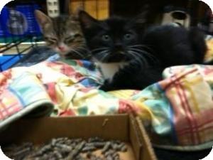 Domestic Shorthair Kitten for adoption in Cranford/Rartian, New Jersey - Tinkerbell