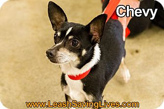Chihuahua Mix Dog for adoption in Pitt Meadows, British Columbia - Chevy