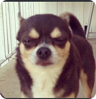 Chihuahua Dog for adoption in Miami, Florida - Yuki