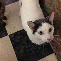 Domestic Shorthair Cat for adoption in Fresno, California - Pringles