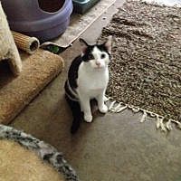 Domestic Shorthair Cat for adoption in Ashland, Ohio - Cupid
