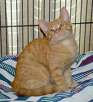 Domestic Shorthair Cat for adoption in Sunderland, Ontario - Flurry