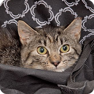 Domestic Shorthair Kitten for adoption in Wilmington, Delaware - Lila