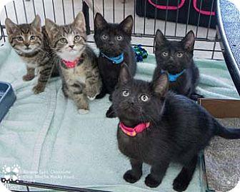 Domestic Shorthair Kitten for adoption in Merrifield, Virginia - Ice T