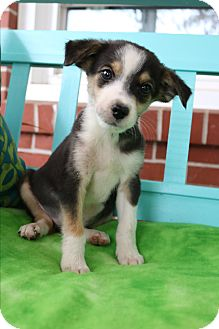 Beagle/Pomeranian Mix Puppy for adoption in Bedminster, New Jersey - Callen