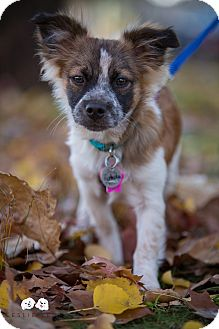 Chihuahua/Papillon Mix Puppy for adoption in Astoria, New York - Pistachio: Adoption Pending