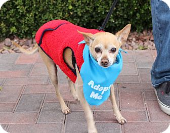 Chihuahua Mix Dog for adoption in Las Vegas, Nevada - WILLY