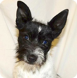 Scottie, Scottish Terrier/Boston Terrier Mix Dog for adoption in Westport, Connecticut - *Phoebe - PENDING