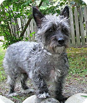 Cairn Terrier Mix Dog for adoption in Forked River, New Jersey - Jazmine