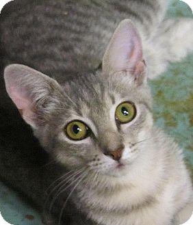 Domestic Shorthair Kitten for adoption in Seminole, Florida - Payten