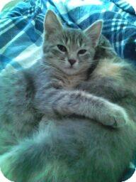 Domestic Shorthair Kitten for adoption in Horsham, Pennsylvania - Dolly