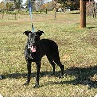 Adopt A Pet :: Midnight - Staunton, VA