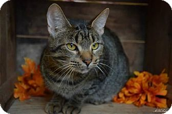 Domestic Shorthair Cat for adoption in Germantown, Maryland - Pearl