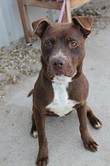 American Staffordshire Terrier Mix Dog for adoption in Yukon, Oklahoma - Coco