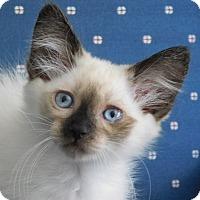 Adopt A Pet :: Shasta - Davis, CA