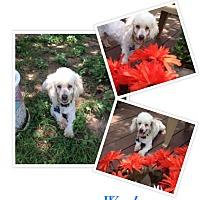 Adopt A Pet :: Wooly - San Antonio, TX