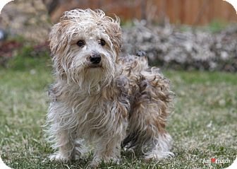 Yorkie, Yorkshire Terrier Mix Dog for adoption in Ile-Perrot, Quebec - CHARLIE