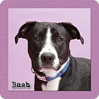 Adopt A Pet :: Bash - Aiken, SC