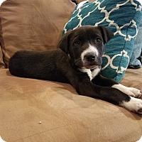 Adopt A Pet :: Laker-pending adoption - Manchester, CT
