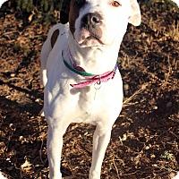 Adopt A Pet :: TULIP - Westminster, CO