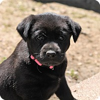 Adopt A Pet :: Zoey - Burlington, VT