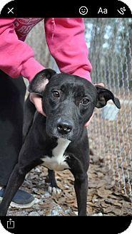 Labrador Retriever/Mixed Breed (Medium) Mix Dog for adoption in Chicopee, Massachusetts - Adele