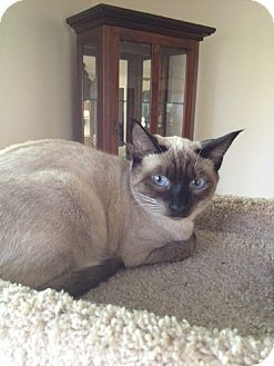 Siamese Cat for adoption in Laguna Woods, California - Purdy