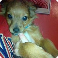 Adopt A Pet :: Kringle - Cumberland, MD