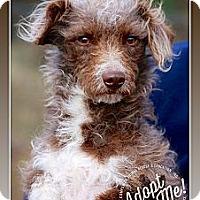 Adopt A Pet :: Buster Brown - Albany, NY