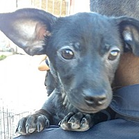 Chihuahua/Dachshund Mix Puppy for adoption in San Diego, California - Sunnie