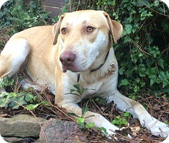 Golden Retriever Mix Dog for adoption in Spring, Texas - Buddy