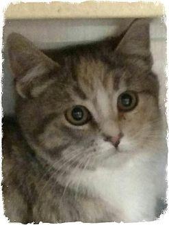 Domestic Shorthair Kitten for adoption in Pueblo West, Colorado - Misty