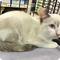 Adopt A Pet :: Mimosa - Gilbert, AZ
