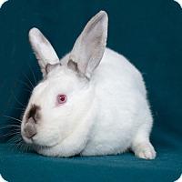 Adopt A Pet :: Hunny Bunny - Alexandria, VA